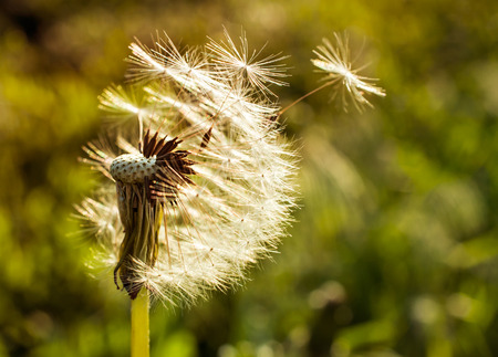 air plant: dandelion flying around at sunset closeup Stock Photo