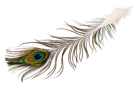 peacock plume on white close-up