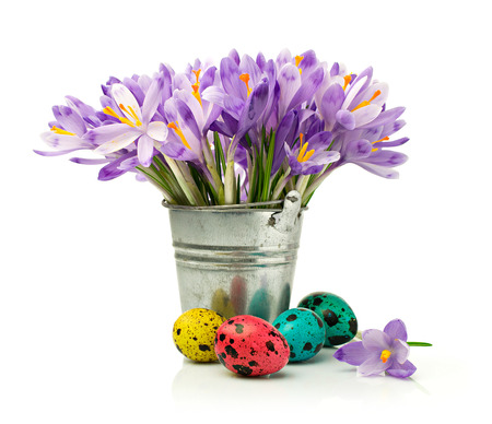 Purple crocuses and painted quail eggs isolated on white photo