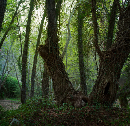 mystical forest: Landscape with a mystical forest. Trees in the foreground, overgrown with vines.
