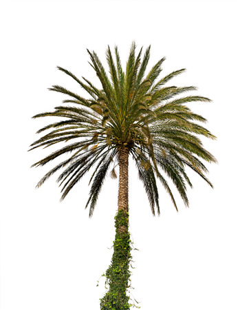 date palm: Date palm tree isolated on white background