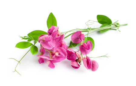 sweet pea flower: Sweet pea flower isolated on a white background Stock Photo
