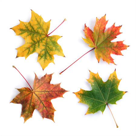 Collection of colorful autumn maple leaves isolated on white background 版權商用圖片 - 64274225