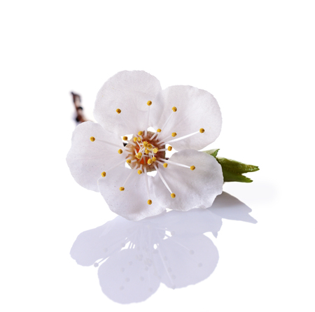 Spring cherry blossom branch with single white flower isolated spring cherry blossom branch with single white flower isolated on white background stock photo 78333555 mightylinksfo