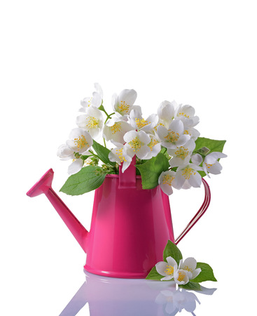 jessamine: Bouquet of white jasmine flowers with leaves in pink watering can isolated on white background