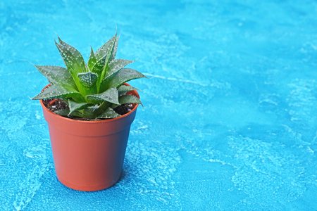 Single small green succulent in brown flower pot with copy space on bright blue concrete background Stock Photo