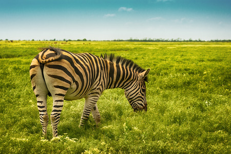 Beautiful single zebra in wild steppe in nature reserve Askania Nova, Ukraine on blue sky background