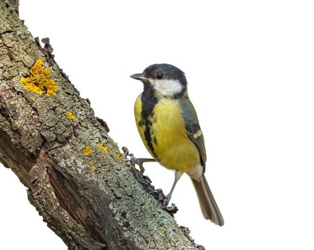 Small bird great tit sitting on tree trunk isolated on white background