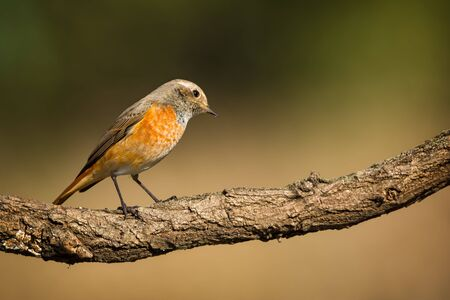Single young redstart bird sitting on tree branch on green nature background