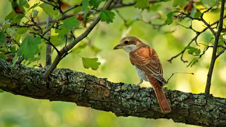 Young single bird red-backed Shrike sitting on tree branch on nature background Imagens