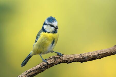 Small bird cute blue tit sitting on tree branch on nature background with copy space