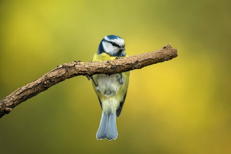 Small bird cute blue tit sitting on tree branch on nature background