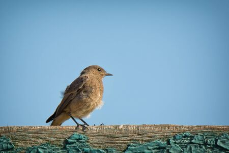 Single young redstart bird sitting on wooden fence on blue sky background Imagens