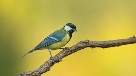 Small bird the great tit sitting on tree branch on spring nature background with copy space