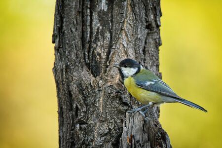 Small bird great tit sitting on tree trunk on nature background