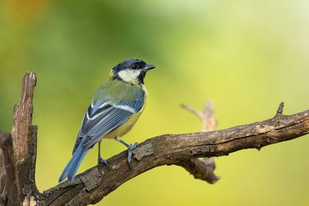 Small bird great tit sitting on tree branch on spring nature background