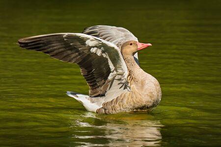 Portrait of Graylag goose bird on water background Banco de Imagens