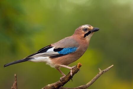 Beautiful bird the ordinary jay sitting on tree branch on green nature background Imagens