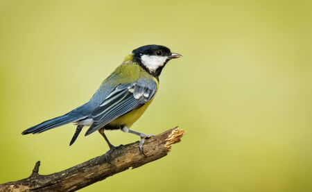 Small bird great tit sitting on tree branch on spring nature background with copy space