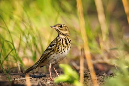 Single young Pipit bird on green grass nature background
