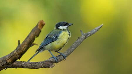 Small bird the great tit sitting on tree branch on spring nature background