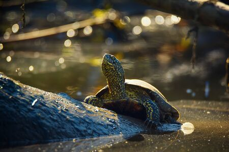 Portrait of wild marsh turtle resting on a log for basking in the sun