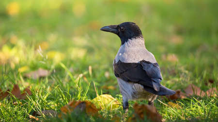 Sunny autumn day with single crow bird in bright green grass and nature background