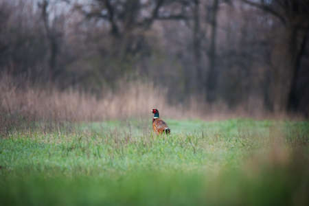 Bright male of Common pheasant with red head, blue neck, brown wings and body on green grass background