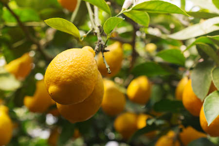 Beautiful garden with ripe yellow lemons hanging on trees with green leaves