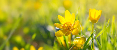 Beautiful blooming spring yellow flowers commonly known as lesser celandine or pilewort on green grass background