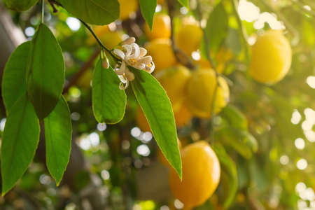 Beautiful garden with flowers and ripe yellow lemons hanging on trees with green leaves