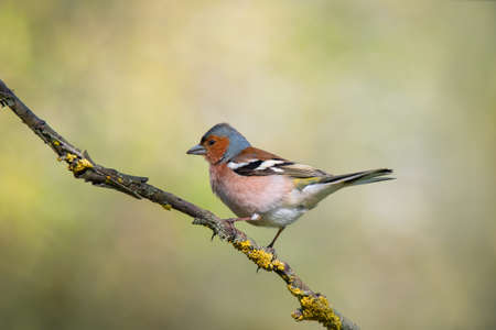 Single common chaffinch bird (Emberiza calandra) sitting on tree branch on green nature background