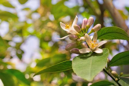 Beautiful garden with flowers on lemon trees with green leaves 版權商用圖片
