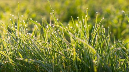 Bright background of shiny dew drops on spring green grass