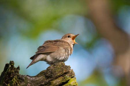 Single common nightingale bird (Luscinia megarhynchos) sitting on tree trunk on nature background