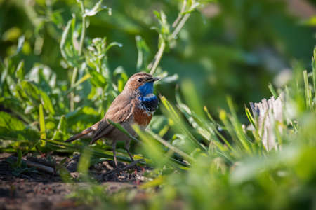 Little bluethroat male songbird in bright spring green grass