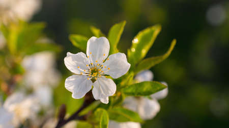 Beautiful blooming cherry tree branch on green leaves background