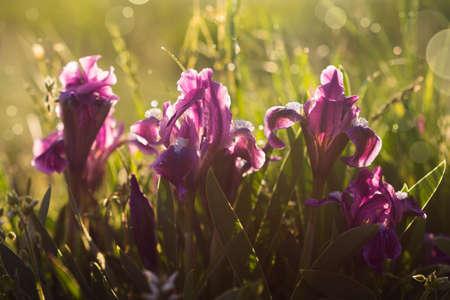 Beautiful blooming spring purple iris flowers on green grass background
