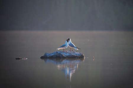 Couple of black-headed gulls sits on grey stone on water background 版權商用圖片