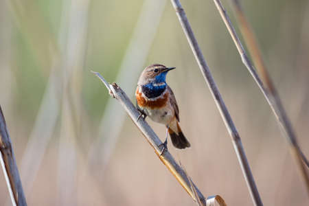 Little bluethroat male songbird in dry reeds on nature background