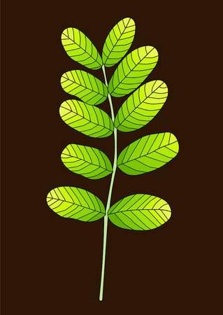green acacia leaf
