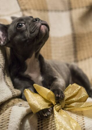 French bulldog puppy lies on a soft plaid blanket with a golden sparkling holiday bow 免版税图像