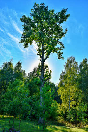 A tall tree in the park towering over other trees against the blue sky. High quality photo
