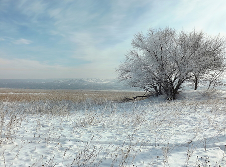 The steppe is covered with snow in winter, a tree in hoarfrost, a sky with cirrus clouds.