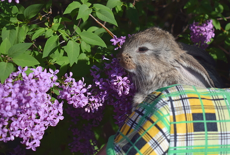 A little rabbit in the arms of a woman smelling lilac flowers.