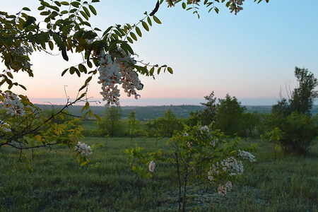 A branch of a blooming white acacia on the background of the morning landscape.