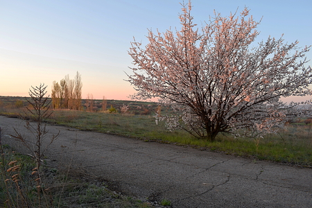 Early morning in a forest-steppe with a blossoming apricot tree near the road.