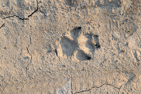 Clear track of the dog on the dried clay soil.