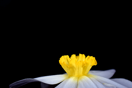 Crown of the flower of narcissus close up. The concept of narcissism.