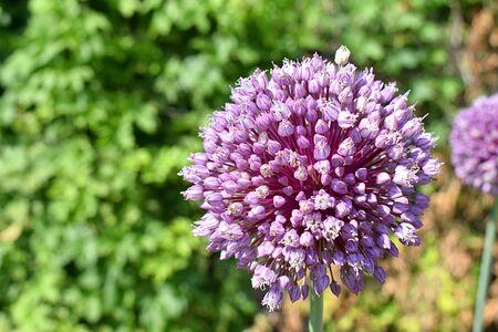 Ball-shaped flower of rockambol, close-up.